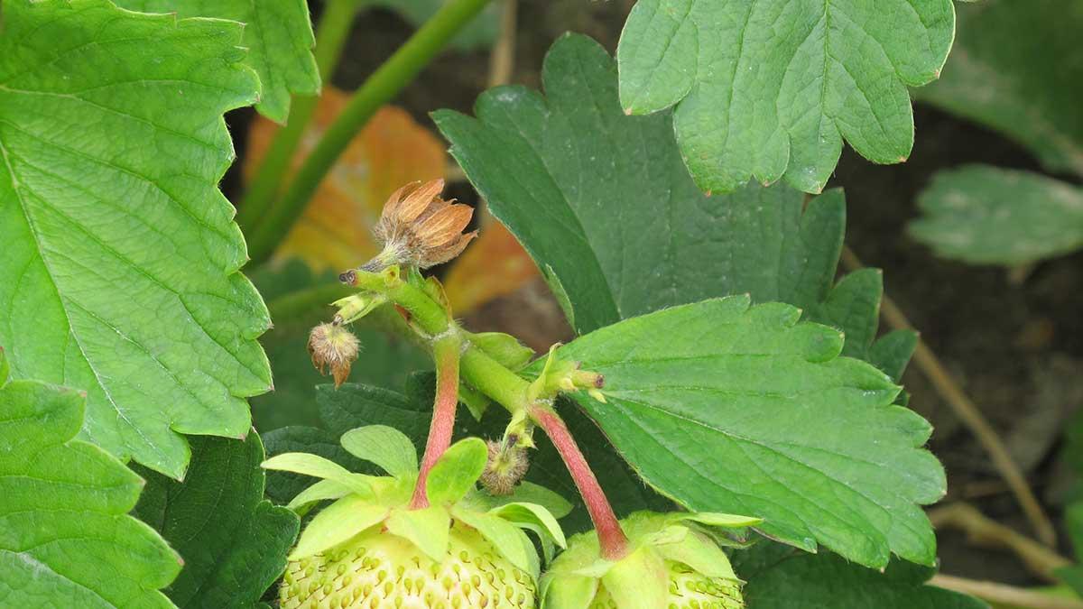 Kwieciak malinowiec - uszkodzone pąki