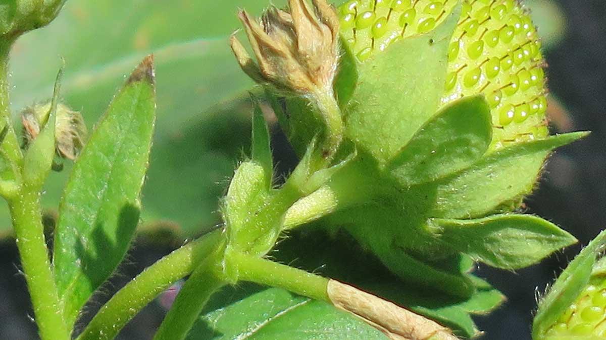 Pąki uszkodzone przez kwieciaka malinowca