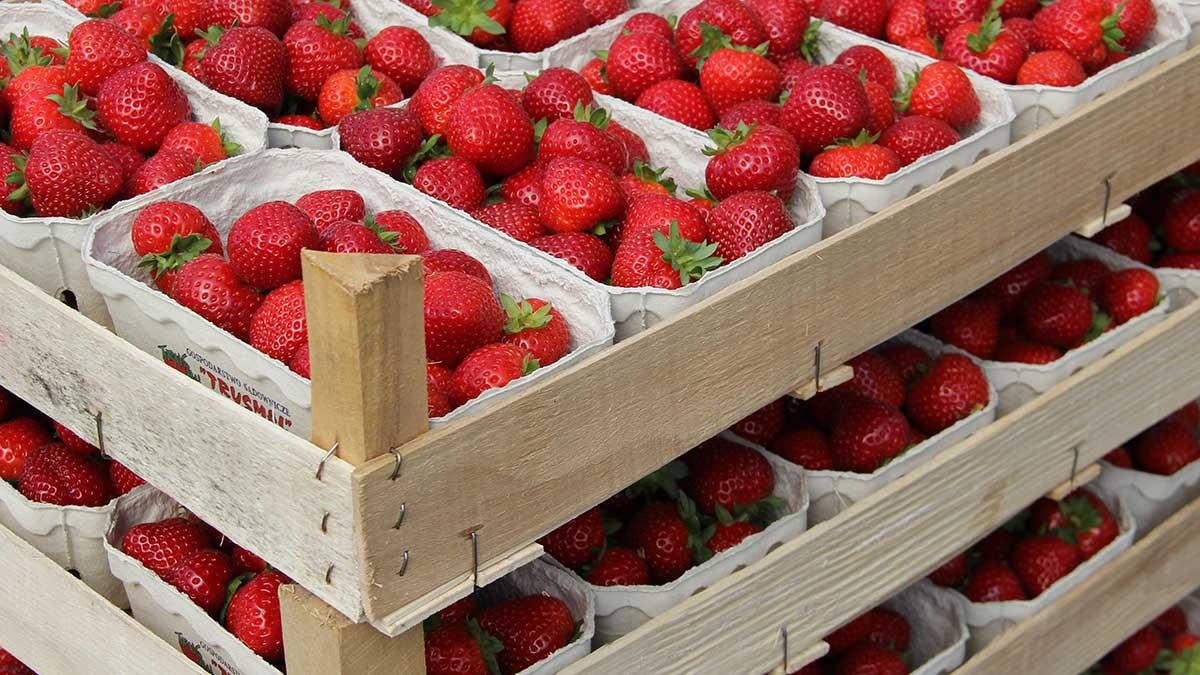 Perspektywy opłacalnej produkcji truskawki